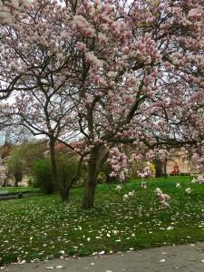 Spring rain of petals